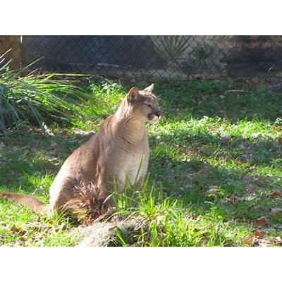 File:Puma concolor coryi 1.jpg - Wikimedia Commons