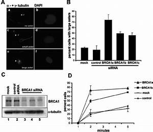 Inhibition of BRCA1 expression caused hyperactive MT ...