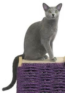 russian blue cat breeders russian blue