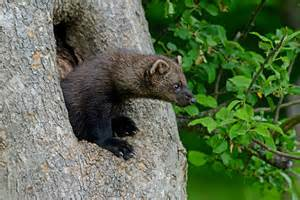 fisher cats fisher cat warning issued in connecticut ct boom