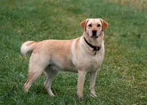 Wie Alt Werden Golden Retriever : choisir son chien le labrador ~ Eleganceandgraceweddings.com Haus und Dekorationen