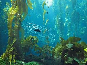 Searching for urchins and restoring a kelp forest – For ...