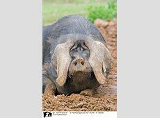 FLPA02310 Cornwallschwein Bilder Stockbilder kaufen