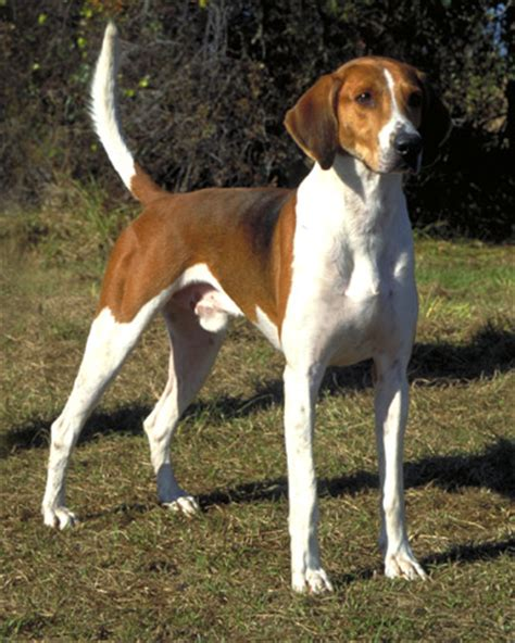 coonhound shedding the best shed breeds whitetail properties