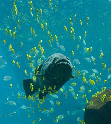 grouper giant wikipedia aquarium georgia fish ocean sea water biggest underwater swimming swim huge fishing under trevally golden epinephelus sa