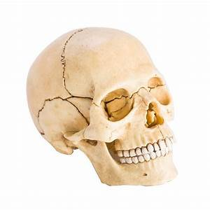 Human Skull Anatomy Model Puzzle