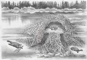 Beaver Lodge Cutaway Sketch