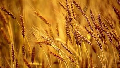 Wheat Field Wallpapers Desktop 4k Barley Corn