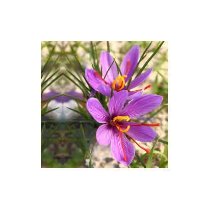 Saffron Crocus Flowers Attractive Flower Grow Comes