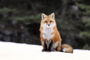commercial photographer fox tries at photography in algonquin park toronto