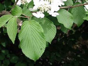 Highbush Cranberry or Cranberry Viburnum (Viburnum opulus ...