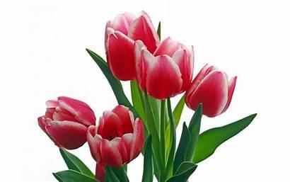Tulip Single Clip Clipart