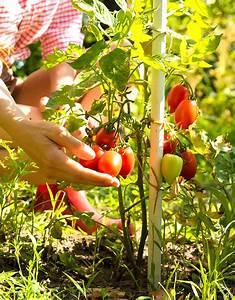 Quand Semer Les Tomates : quand planter des tomates cerises interesting quand ~ Melissatoandfro.com Idées de Décoration
