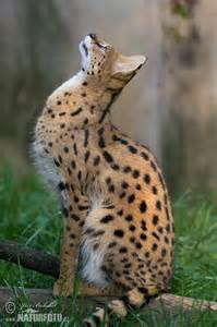 serval cat serval pictures serval images naturephoto