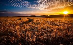 Corn, Sunrise, Fields