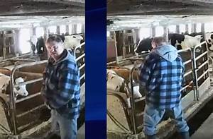 Video captures milk delivery driver urinating next to cows ...