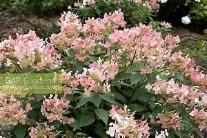 Hydrangea Paniculata Schneiden : gap gardens hydrangea paniculata 39 early sensation ~ Lizthompson.info Haus und Dekorationen