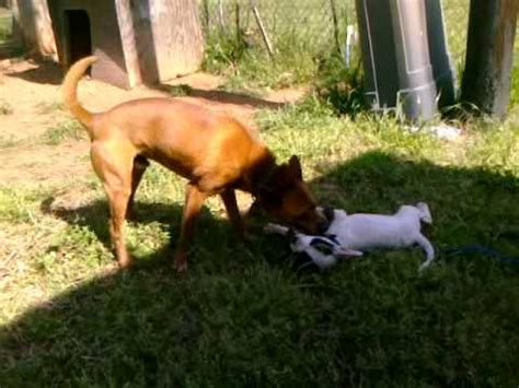 raising  perfect pitbull puppies dog fights rules
