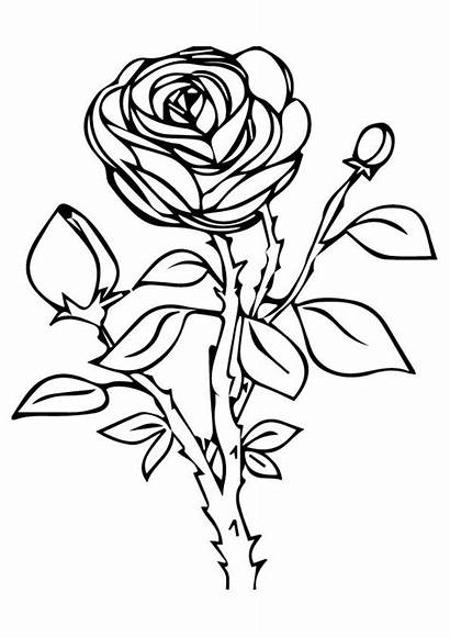 Rose Coloring Pages Nature Printable A4 Drawing