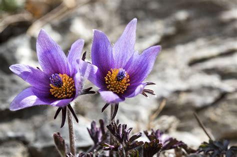 pasque flower growing profile