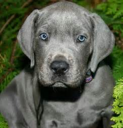 Blue Great Dane Puppy