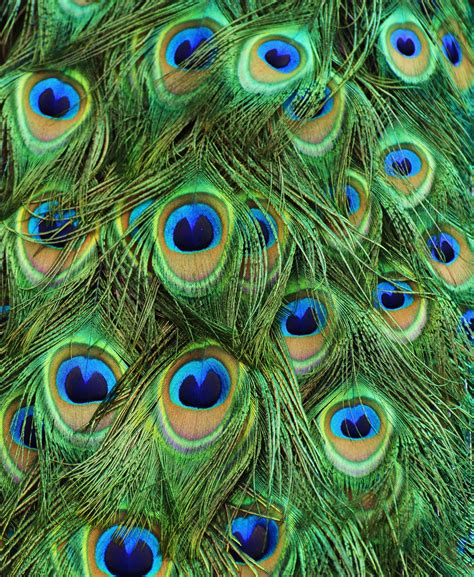 peacock tail feathers turquoise teal blues pinterest