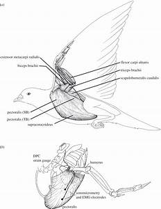 Hummingbird  Wing Muscle Physiology  Thermoregulation
