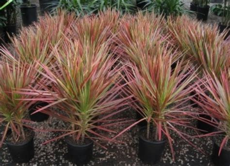 tanaman hias dracaena tricolor 5 tanaman untuk taman rumah minimalis