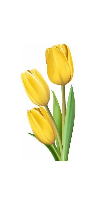 Tulip Yellow Clipart Flower Tulips Flowers Pink
