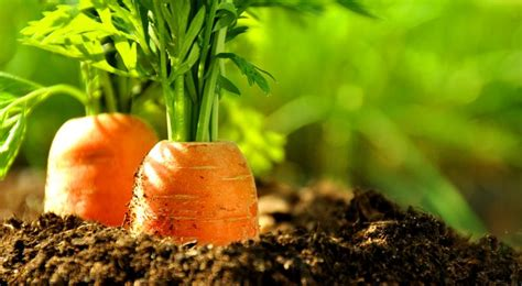 chambre de pousse carotte plantation entretien et récolte