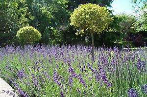 Plant De Lavande : lavande hidcote lanscaping pinterest ~ Nature-et-papiers.com Idées de Décoration