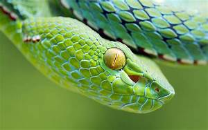 Yellow eyes green snake wallpapers and images - wallpapers