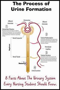 8 Facts About The Urinary System Every Nursing Student