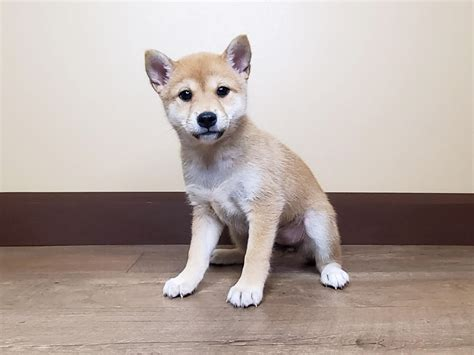 Post your pictures, videos, questions, etc. Shiba Inu-DOG-Female-RED-2839350-Petland Fairfield