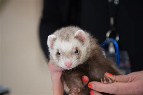 are ferrets pets pet health heartworm is a concern for dogs cats and even ferrets source colorado state