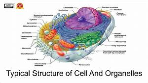 Typical Structure Of Cell And Organelles