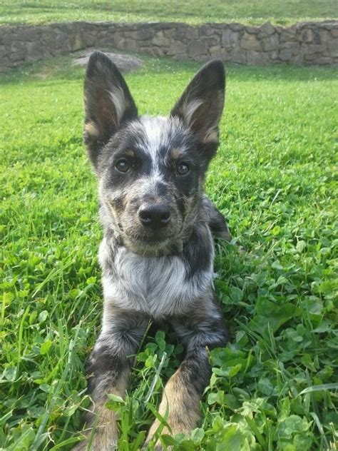 miniature blue heeler shedding heeler australian cattle puppy by amazing animals
