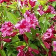 Weigela Bristol Ruby : weigela 39 bristol ruby 39 weigela florida 39 bristol ruby ~ Michelbontemps.com Haus und Dekorationen