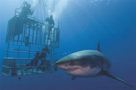 great white shark dive top tips for cage diving with sharks
