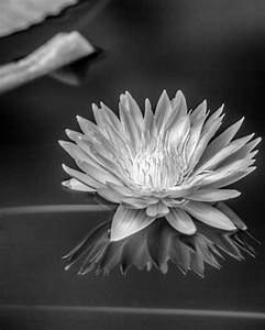 Water Lily In Infrared Nature photography Black and White