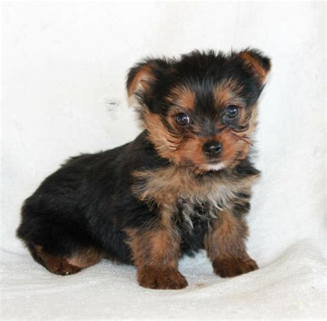 Yorkie Puppies Images Yorkie Puppies Free Images Image Free Yorkie Puppies For