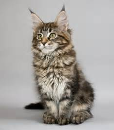 big maine coon cats for maine coon cat information big friendly