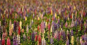 Guide To Growing Lupine Flowers