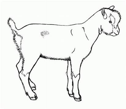 Goat Coloring Drawing Goats Dairy Drawings Pages