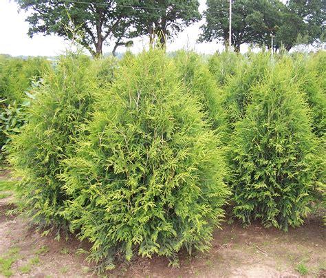 arborvitae trees about us