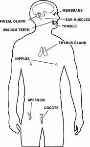 Do humans have vestigial organs - creation.com  Vestigial