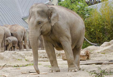 Elefante Asiático (elephas Maximus), Tierpark