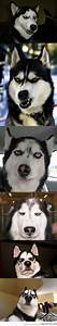 Huskies make the best faces… | To find out, Laughing and ...