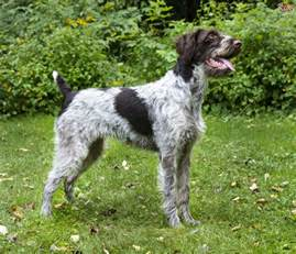 german wirehaired pointer dog breed information buying