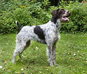 German Wirehaired Pointer Dog Breed Information, Buying ...